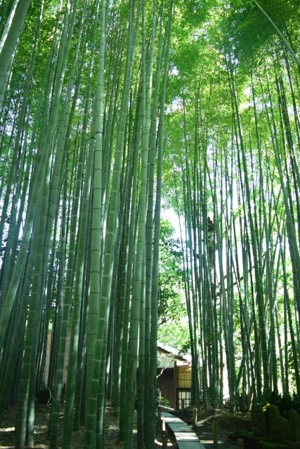 報国寺の竹林の道。 細長い敷石の上を歩くので、足場はあまり良くない。