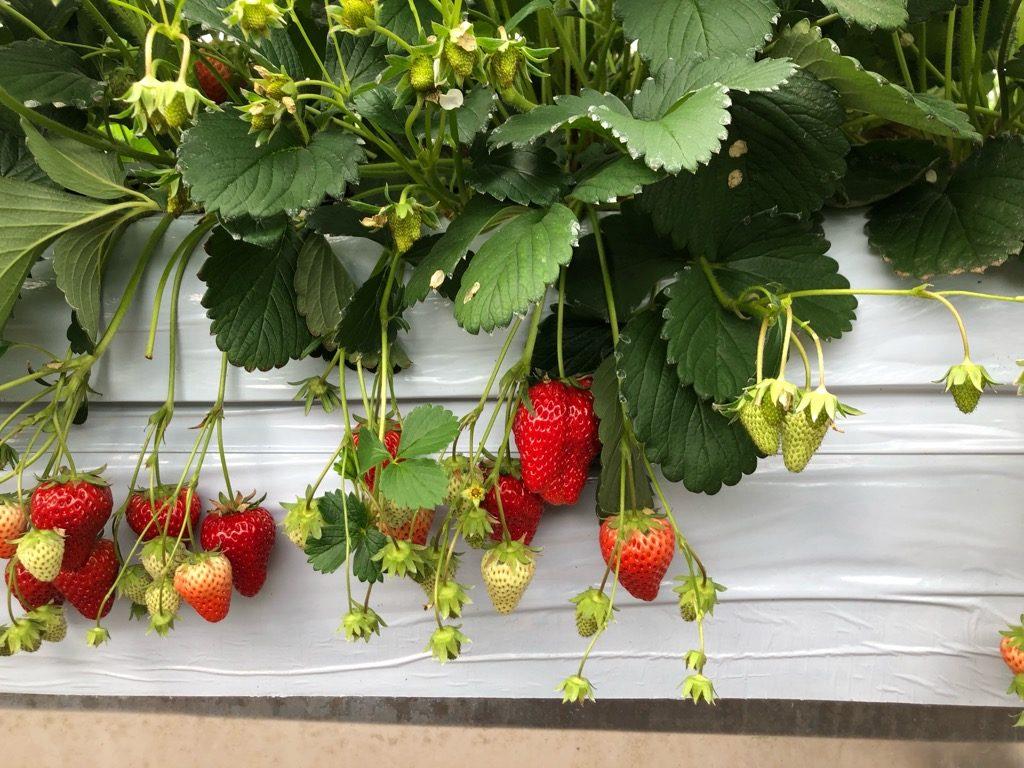 長島農園のイチゴ。中央の大きそうなイチゴを収穫してみると…