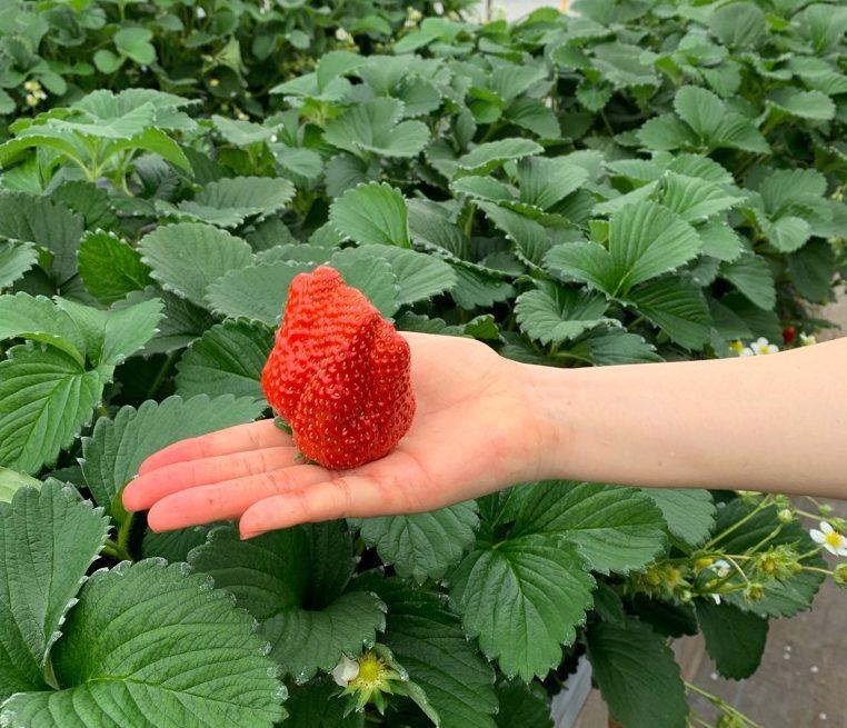 長島農園のイチゴ。こんな大きさのイチゴ見たことない…。