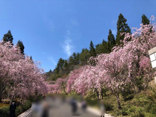 MIHO MUSEUM 桜が満開!