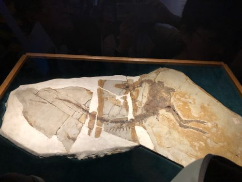 初めて羽毛が発見された恐竜、シノサウロプテリスク化石。