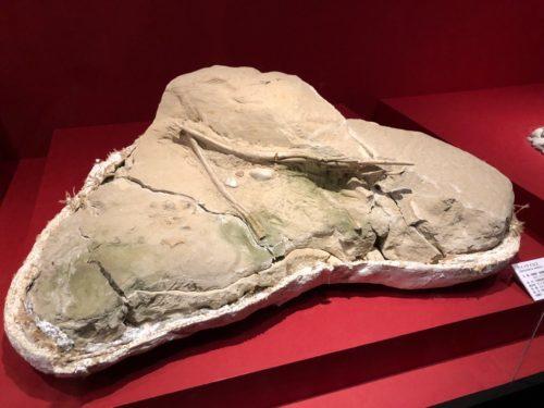 デイノケイルス 胃の化石。内容物が見える。